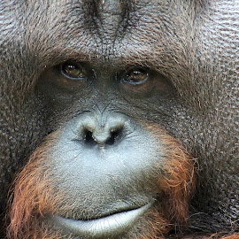 Coy! by Kathryn Willett - Animals Other Mammals ( animal, monkey,  )