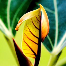 God's Hand by Sanjeev Goyal - Nature Up Close Leaves & Grasses ( orange, red, banyan, green, leaf )