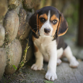 Perry Puppy by Wei Fuk Lie - Animals - Dogs Puppies ( natural light, breed, cute, curious, nature, mamal, baby, beagle, animal, pedigree, animalia, male, young, portrait, sit, canine, vertebra, resting, sitting, animal kingdom, pet, puppy, zoology, rest, dog, companion dog, natural )