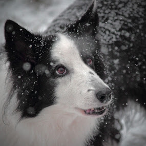 The Wonder of Snow by Melanie Melograne - Animals - Dogs Portraits ( snow fall, dogs, border collie, seasonal, winter, black and white, wonder, portrait, snow, white, quality, detail, landscapes,  )