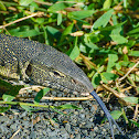 Nile Monitor (Water Leguaan)