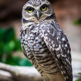 Owl by Chris Backey - Animals Birds ( bird, bird of prey, nature, zoo, owl )