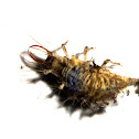Lacewing larva