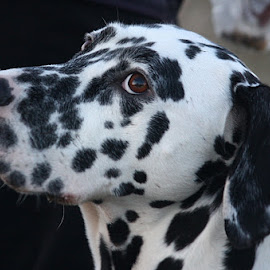 Millie by Chrissie Barrow - Animals - Dogs Portraits ( spots, white, brown, dalmation, head, dog, ears.black, nose, portrait, eyes )