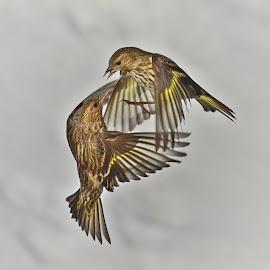 A dance in the sky... by Isabelle VM - Animals Birds ( bird, flight, pinesiskens, inflight, fly, wings, birds, dance )