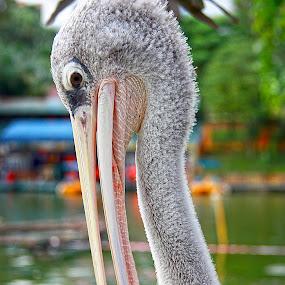 Pose by Mohd Rashidin Ideres - Animals Other ( johor, malaysian egret, zoo johor, bangau, bangau oh bangau )