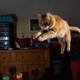 Jumping cat by Turnip Towers - Animals - Cats Playing ( cat, indoor, jumping, ginger, jump )