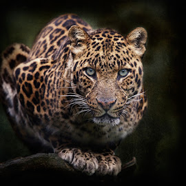 Mesmerized by Aya de Ruiter - Animals Lions, Tigers & Big Cats ( luipaard, leopard )