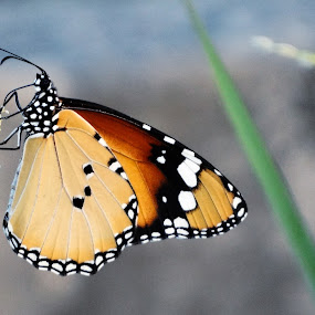 Butterfly :-) by Ashwini Dey - Animals Insects & Spiders ( butterfly, beautiful, ashwini dey, insect, photography )