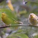 Wilson's Warbler (fledgling)