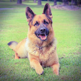 Summer Smile by Sue Delia - Animals - Dogs Portraits ( laying, dog, german shepherd, smiles,  )