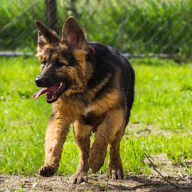 playful pup by Alisa German - Animals - Dogs Running ( puppies, dogs, running )
