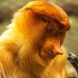 Bekantan by Prodjo Tamansari - Novices Only Wildlife ( bekantan, satwa, primata )