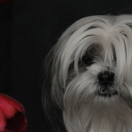 Our little puppy by Janet Gilmour-Baker - Animals - Dogs Portraits ( contrast, tulip, little, puppy, dog, pretty, portrait )