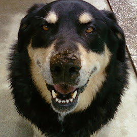Tyler, Nose Covered in Mud by Jane Singer - Animals - Dogs Playing (  )
