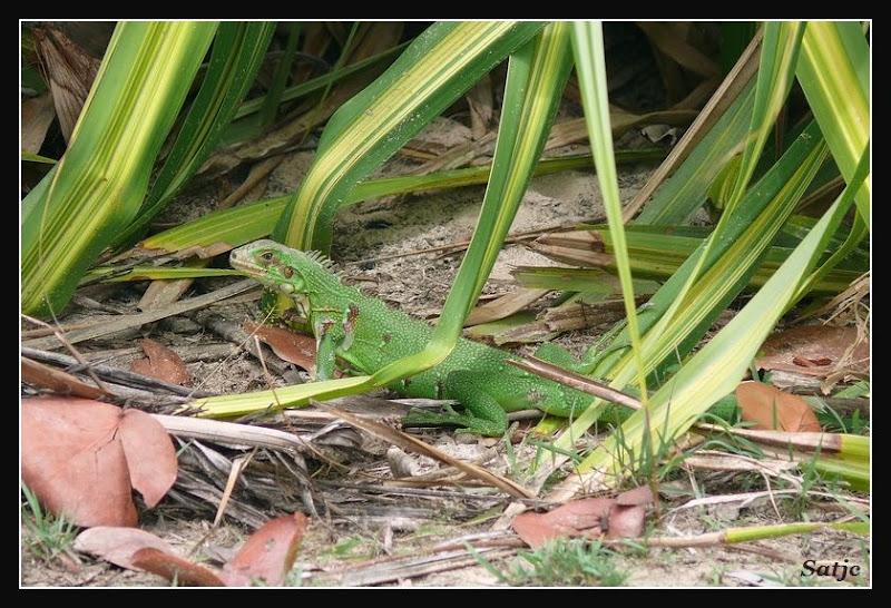 Iguane Sauvage de Guadeloupe ;o) Guadeloupe%202008%20-%20262