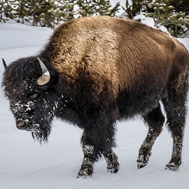 Yellowstone Bison by Ron Meyers - Animals Other Mammals