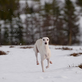 Whippet in the snow by Marius Birkeland - Animals - Dogs Running ( dogs, snow, dog, animal, whippet )
