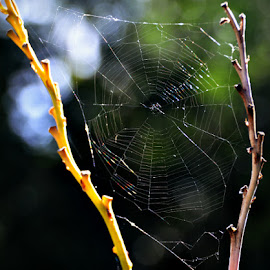 by Chandra Whitfield - Nature Up Close Webs ( nature, spider, web, photography )