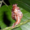 Commander butterfly Pupa