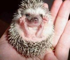 babyhedgehog_1