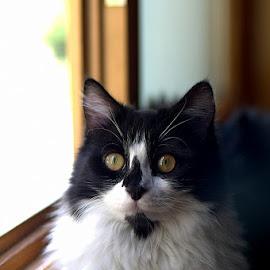 Mahmut YILDIRICI @Tum haklari saklidir. by Mahmut Yildirici - Animals - Cats Portraits