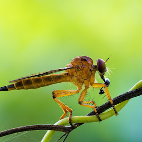 Snack Time by Ade Yuda - Animals Insects & Spiders ( macro, eat, yellow, insect, robberfly )