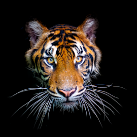 by Robert Cinega - Animals Lions, Tigers & Big Cats