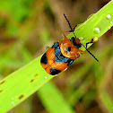 Orange-black Leaf Cylinder Beetles