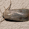 Green Cutworm Moth