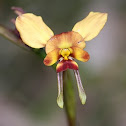 Wallflower Orchid
