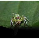 Epeus Indicus