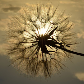 Dandelion facing the setting sun............ by Cindy Bester - Nature Up Close Other plants ( clouds, sky, dandelion, sunset, rays )