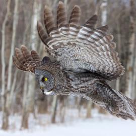 Great Grey Fly By by Adam Rice - Animals Birds ( nature, great gray owl, wildlife, birds, raptors, owls )