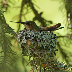 Tiny by Giselle Pierce - Nature Up Close Hives & Nests ( eggs, hummingbird, nest, hatched,  )