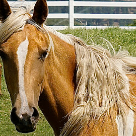 Pasture Perfect by Barbara Brock - Animals Horses ( horse in the pasture, horse head, palomino horse,  )