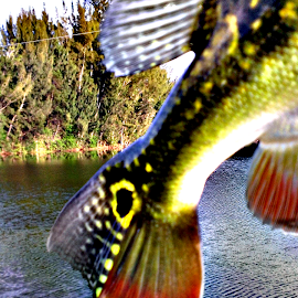Peacock Bass Tail  by Michael Johnston - Animals Fish