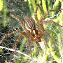 Grass spider (female)