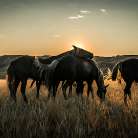 Morning Companions by Richard Horst - Animals Horses ( horses, breakfast, montana, sunrise )