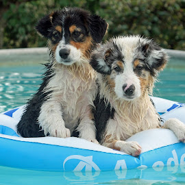Pool puppies by Kristi Muck - Animals - Dogs Puppies