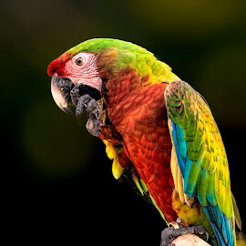 Just a parrot by Alfonso Rahardja - Animals Birds