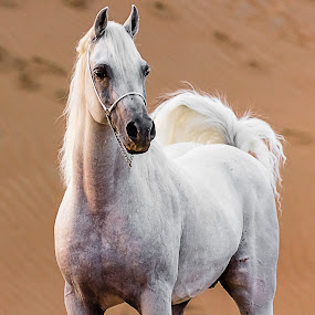 Majestic Look by Wissam Chehade - Animals Horses ( pride, desert, horses, royal, majestic, beauty, arabian horses,  )