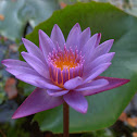 Blue Egyptian Water Lily