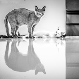 O gato e o reflexo by Anibal Lopes - Animals - Cats Portraits ( cat, white, reflexion, black )