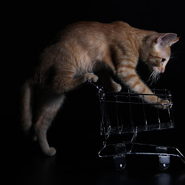 Cat climbing by Ita Pritsch Simões Pires - Animals - Cats Kittens ( black background, studio, cat, kitten, cart, miniature, animal, baby, young )