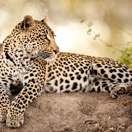 Beautiful Girl by Kim Stockley - Animals Lions, Tigers & Big Cats ( resting, waiting, safari, south africa, beauty in nature, leopard,  )
