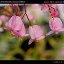 Hybrid Begonia