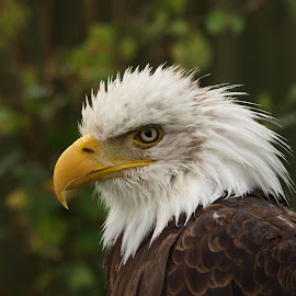 RFF by Garry Chisholm - Animals Birds ( bird, eagle, nature, wildlife, prey, raptor, bald, chisholm, garry )