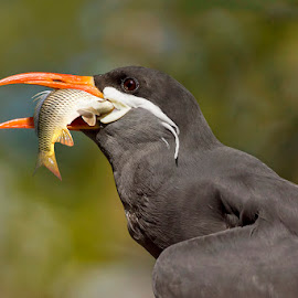 The Snatcher - Inca tern by Awais Khalid - Animals Birds ( bird, wild, snatcher, tern, fish, beak, ince, mustache )