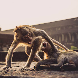 Angkor Wat fight by Nathan Chesky - Animals Other Mammals (  )